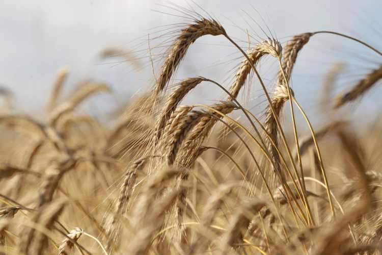 مؤسسة الحبوب السعودية تشتري 723 ألف طن من الشعير في مناقصة