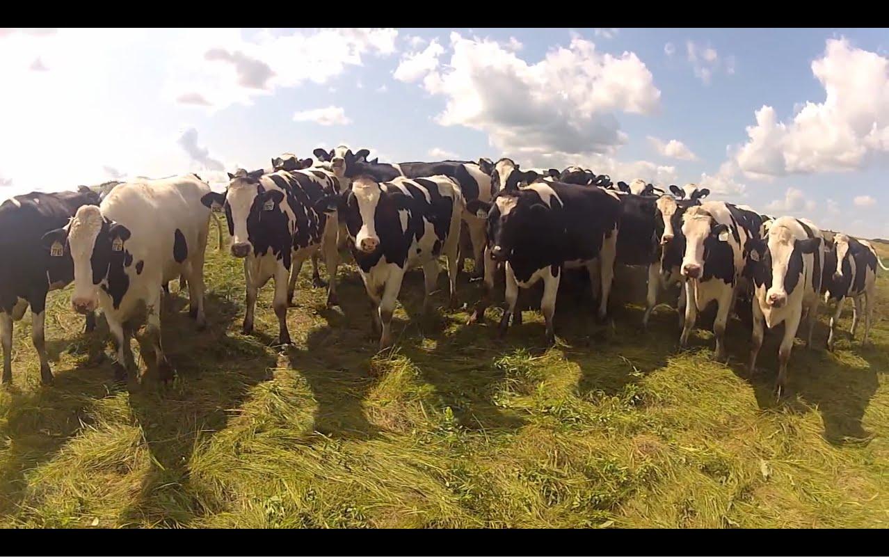 قطيع من الأبقار فى الأرجنتين