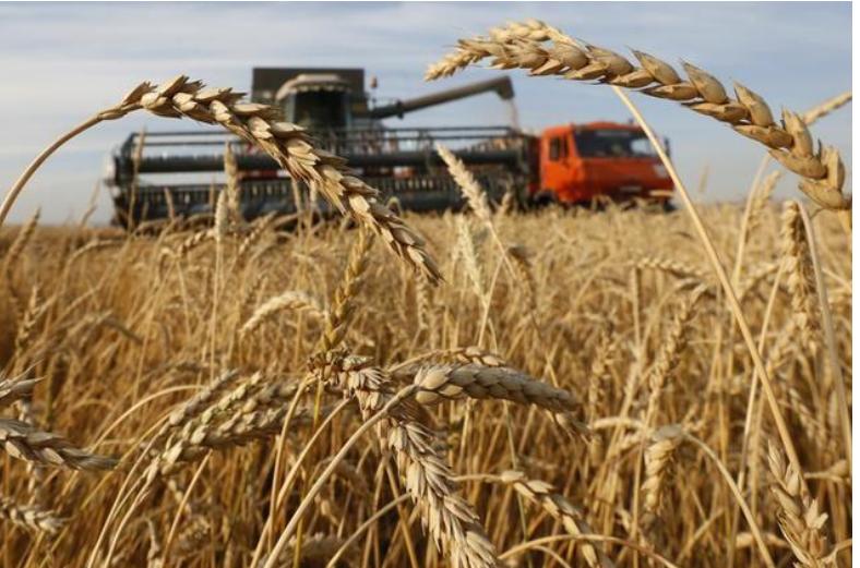 حقل مزروع بالقمح في روسيا