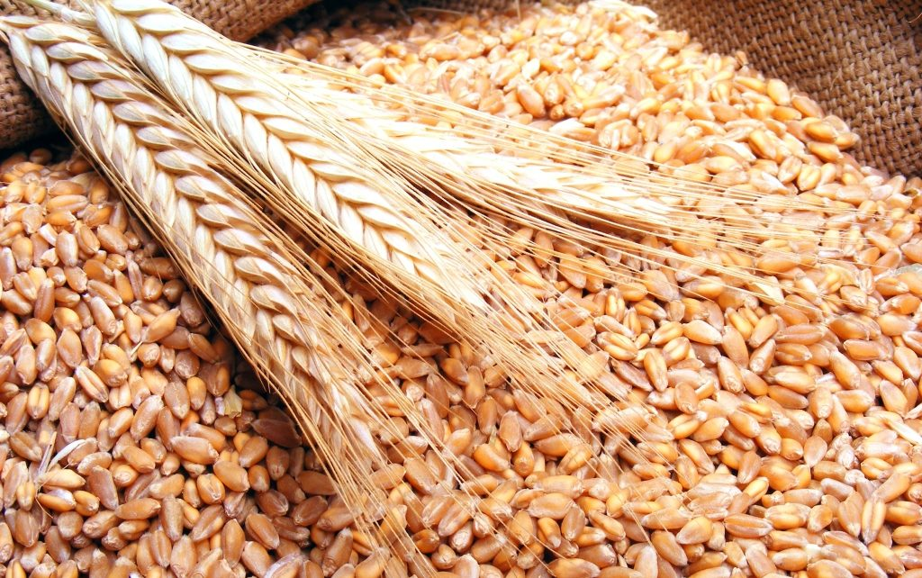 القمح الصلد