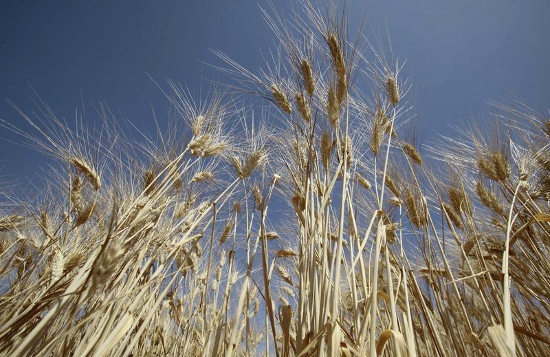 إنتاج الحبوب في الجزائر يرتفع إلى 3.5 مليون طن