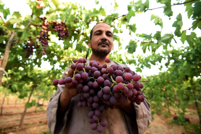 أوروبا ترفع القيود عن العنب المصرى