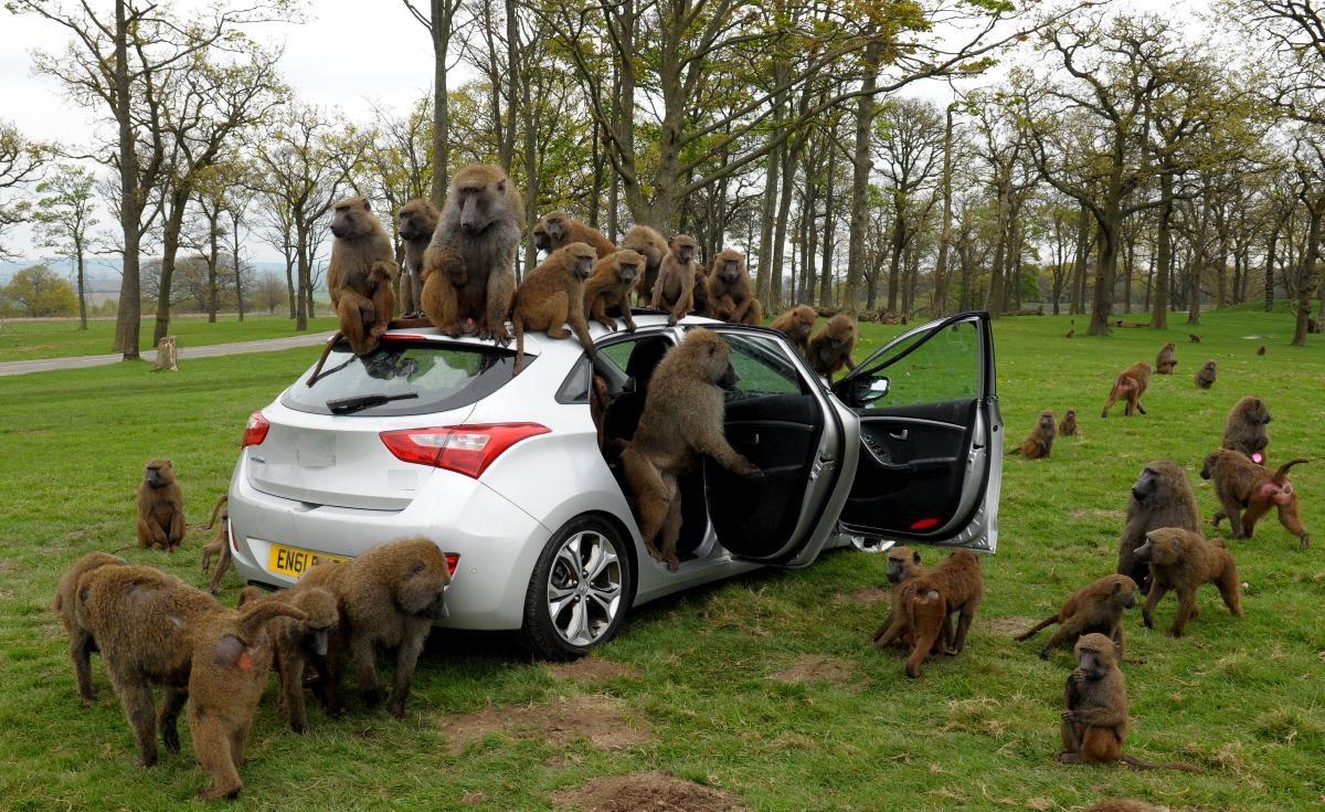قرود في سيارة (صورة تعبيرية)