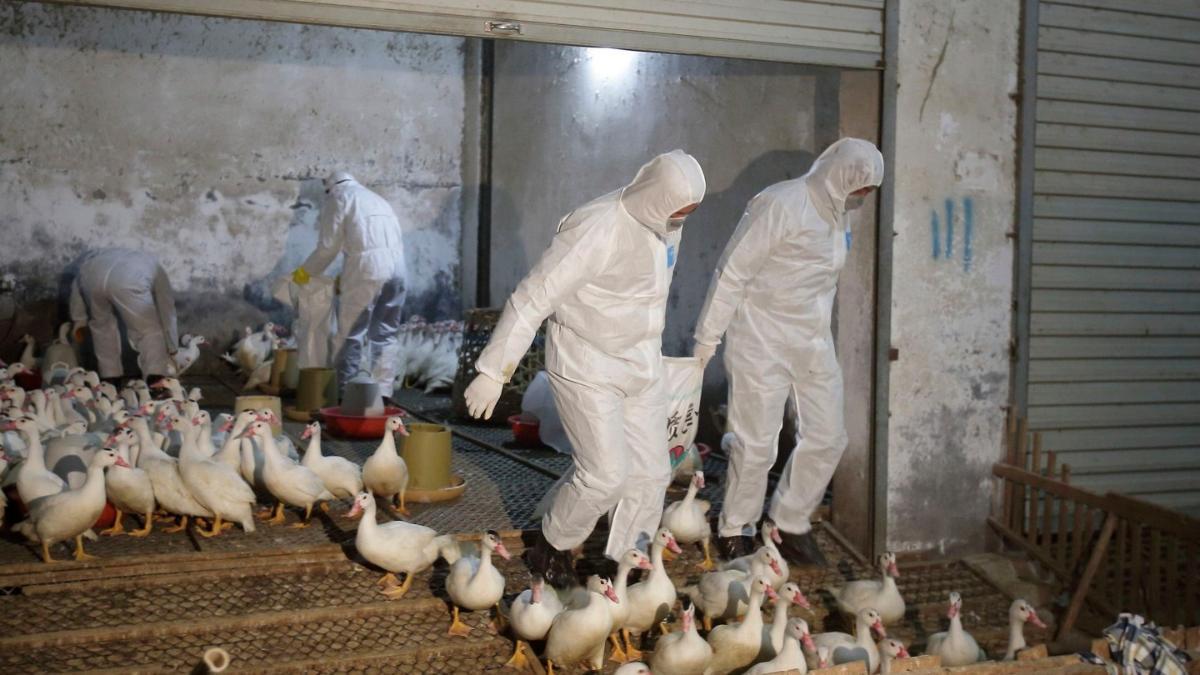 انفلونزا الطيور في السعودية