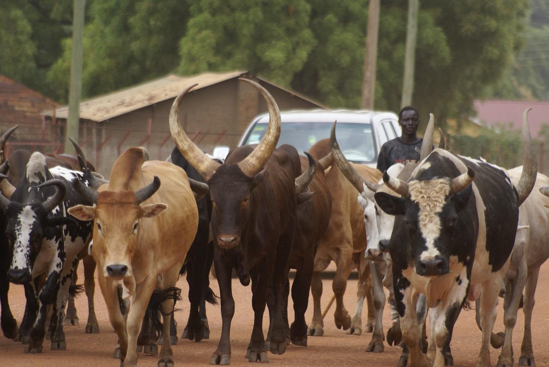 العجول السودانية