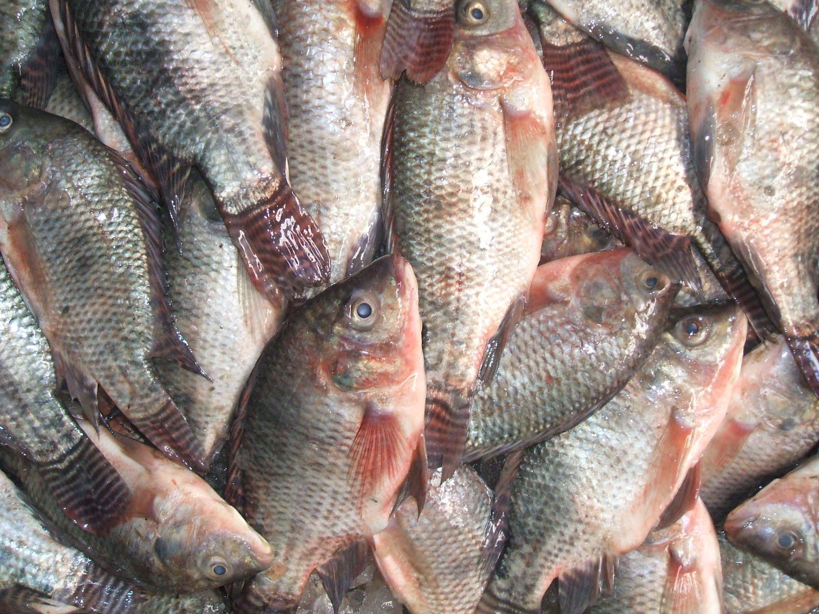 السمك البلطى