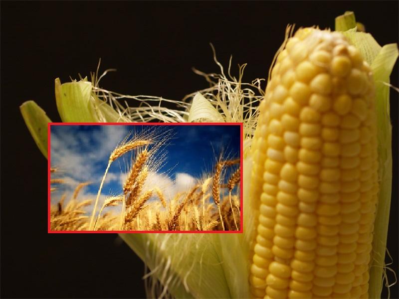 الذرة والشعير