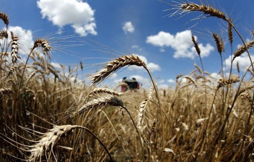 أحد حقول القمح في رومانيا