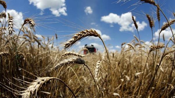 حقول قمح فى رومانيا