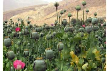 زراعة خشخاش الأفيون