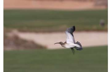 The bird, a Steppe Whimbrel, Numenius phaeopus alboaxillaris, is an extremely rare sub-species of the widespread Whimbrel, which regularly passes through the Emirates in spring and autumn.